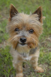 Short hiar Yorkie. A small Yorkshire Terrier with short hair stock photography