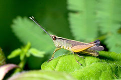 Short horn grasshopper Stock Images