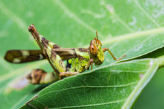 Short horn grasshopper Stock Photo