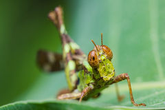 Short horn grasshopper Royalty Free Stock Images