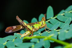 Short horn grasshopper Stock Image