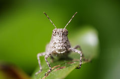Short horn grasshopper Stock Photos