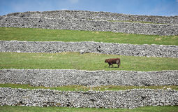 Short Horned Bull and Dry Stone Walls Stock Photos