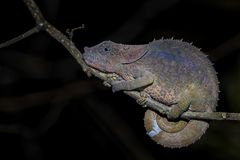 Short-horned Chameleon - Calumma brevicorne. Madagascar rain forest. Beautiful coloured lizard. Elephant ear stock photography