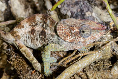 Short-horned chameleon, marozevo Royalty Free Stock Photography