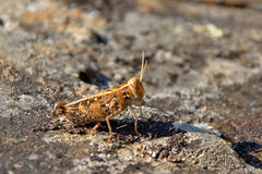 Short-horned grasshopper  (Caelifera) Stock Image