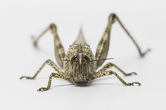 Short-horned grasshopper Royalty Free Stock Photography