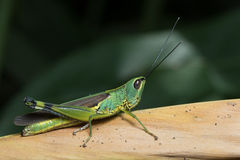 Short-horned Grasshopper Royalty Free Stock Images