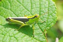 Short-horned grasshopper on the leaf Stock Photos