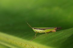 Short-horned grasshopper. Is staying on the banana leaf royalty free stock images