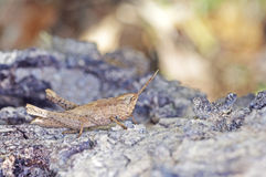 Short horned grasshopper Stock Photo