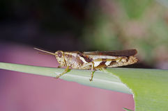 Short horned grasshopper Royalty Free Stock Photo
