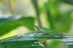 Short-horned grasshopper on tropical leaf Royalty Free Stock Photography