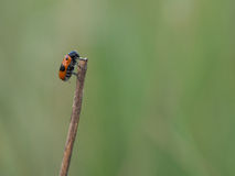 Short-horned leaf beetle, Clytra laeviuscula Stock Photography