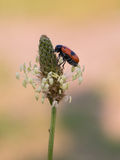 Short-horned leaf beetle, Clytra laeviuscula Stock Photo