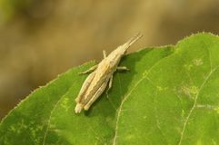 Short horned tan grasshopper on a green leaf near Sangli. Maharashtra, India Stock Photo