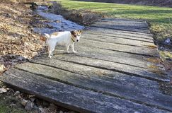 Jack Russell Terrier on a Foot Bridge. A short legged Jack Russell Terrier waiting on a foot bridge for the command to go stock images
