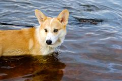 Short-legged shepherd. Retriever red color. Chest deep water in the river. royalty free stock image