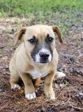 Short legged tan mutt puppy dog, Georgia USA Stock Images