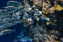 Short Mackerel Stock Photo