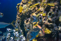 Short Mackerel Royalty Free Stock Photos