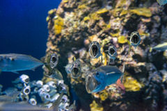Short Mackerel Royalty Free Stock Images