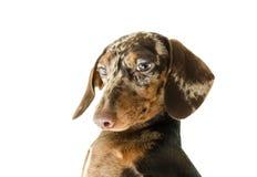 Short marble Dachshund Dog, hunting dog, isolated over white background Stock Photos