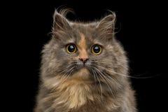 Short Munchkin Cat on Isolated Black background stock photography