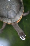 Short Neck Turtle Stock Photography