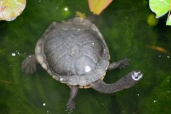 Short Neck Turtle Royalty Free Stock Image
