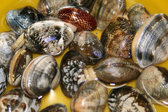 Short-Necked. Fresh short-necked clams stock photography