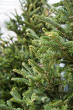 Short needle Christmas trees Royalty Free Stock Photo