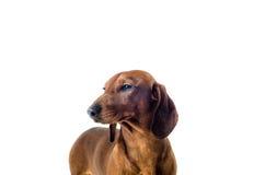 Short red Dachshund Dog, hunting dog, isolated over white background Royalty Free Stock Image