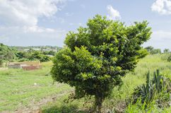 Short Sapodilla Tree. Landscape includs short sapodilla tree at base of a shallow steep descent, and edge of flat lands having more rounded shape on the sides stock images