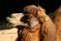 Short shot of a Bactrian or Asian camel Camelus bactrianus stock image