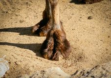 Short shot of the front leg of a Bactrian or Asian camel Camelus bactrianus royalty free stock photography