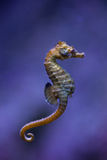 Short-snouted seahorse (Hippocampus hippocampus). Sea animal stock photo