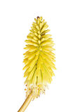 Short stem with bright yellow flowers of Kniphofia Royalty Free Stock Photography