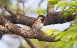 Short tail sparrow sitting in a tree Stock Images