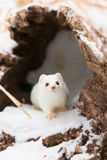 Short tail weasel exiting his den Stock Images