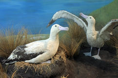Short-tailed albatross couple Stock Photo