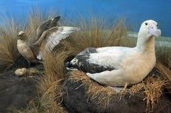 Short-tailed albatross family Stock Photo