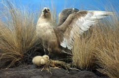 Short-tailed albatross mother and chick Stock Photography