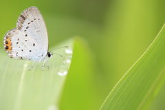 Short-tailed blue Stock Photos