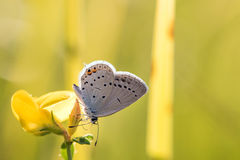 Short-tailed blue or tailed Cupid (Cupido argiades) on yellow fl Stock Images