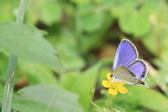Short tailed blue on a yellow flower Stock Image