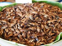 Short  tailed cricket Royalty Free Stock Image