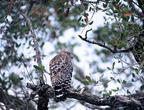 Short-tailed Hawk Royalty Free Stock Image