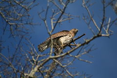 Short-tailed hawk (buteo brachyurus). Short tailed hawk perched in a tree Stock Photo