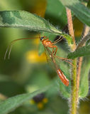 Short-tailed�Ichneumon Stock Images